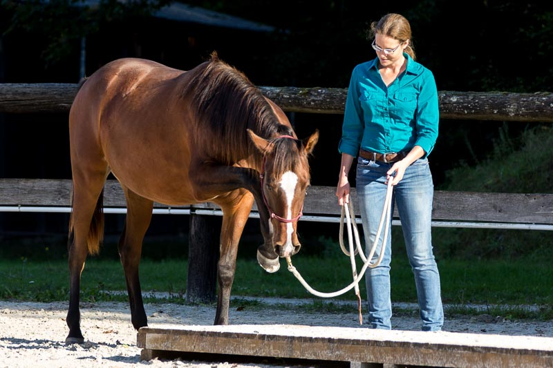 Young Horse Education - young Shagya mare explores the bridge