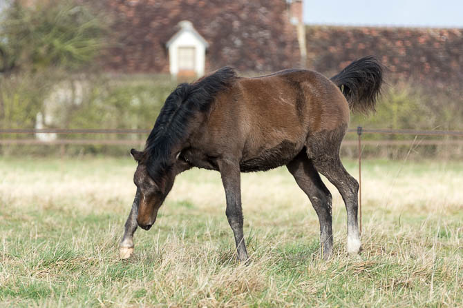 Gabi Neurohr Foal Education - Shagya foal Maserati ready to play