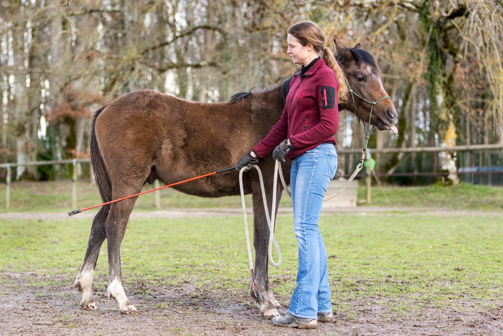 Gabi Neurohr Foal Training - touching the hindlegs with the stick