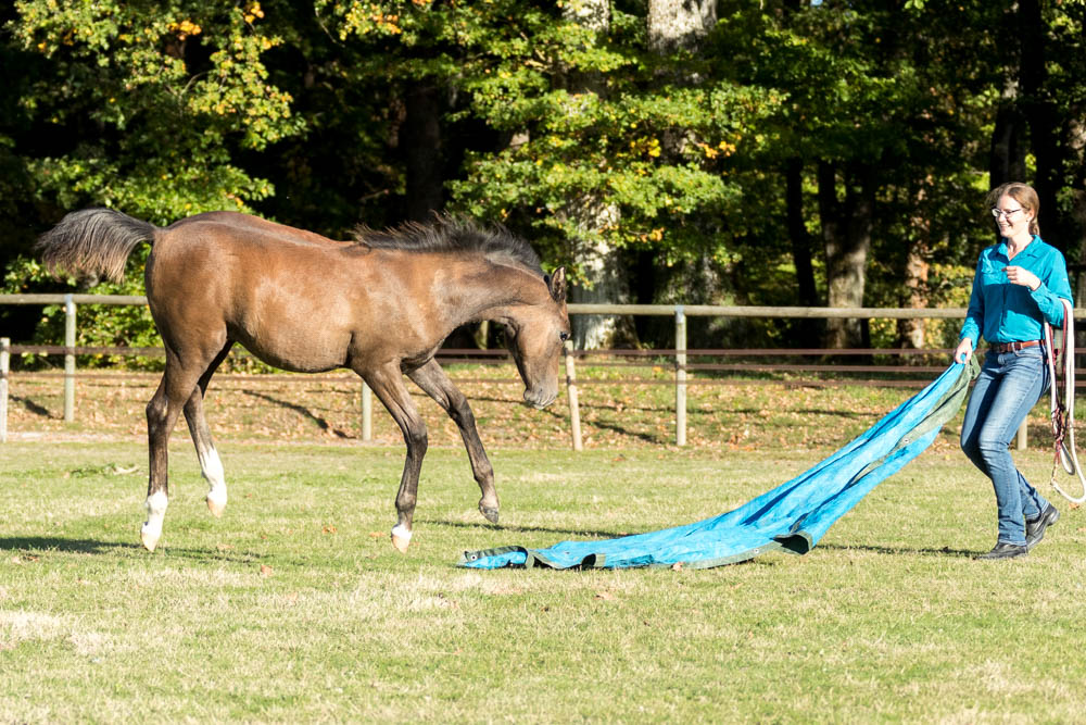 Gabi Neurohr Young Horse Education - Foal Maserati is exploring the tarp