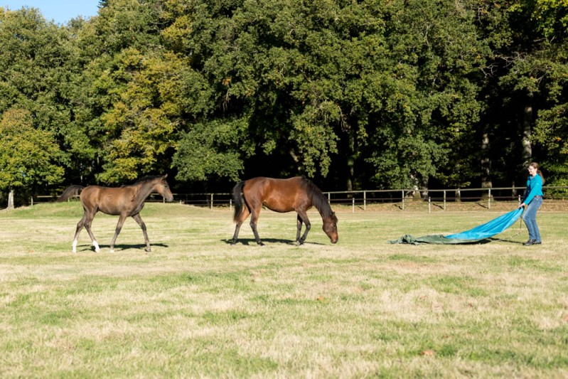 Gabi Neurohr Young Horse Education - foal and yearling getting curious about the tarp