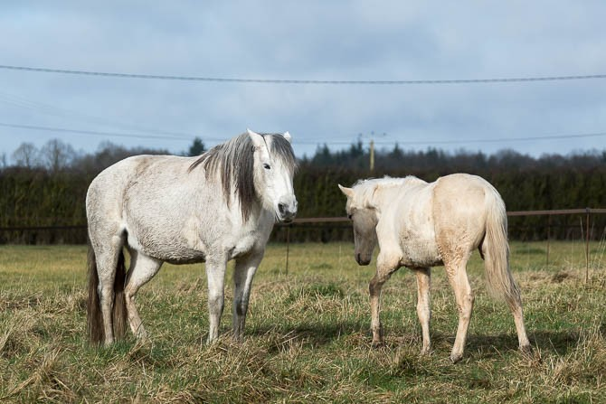 Gabi Neurohr Young Horse Education - a grey mare is telling a foal to keep distance